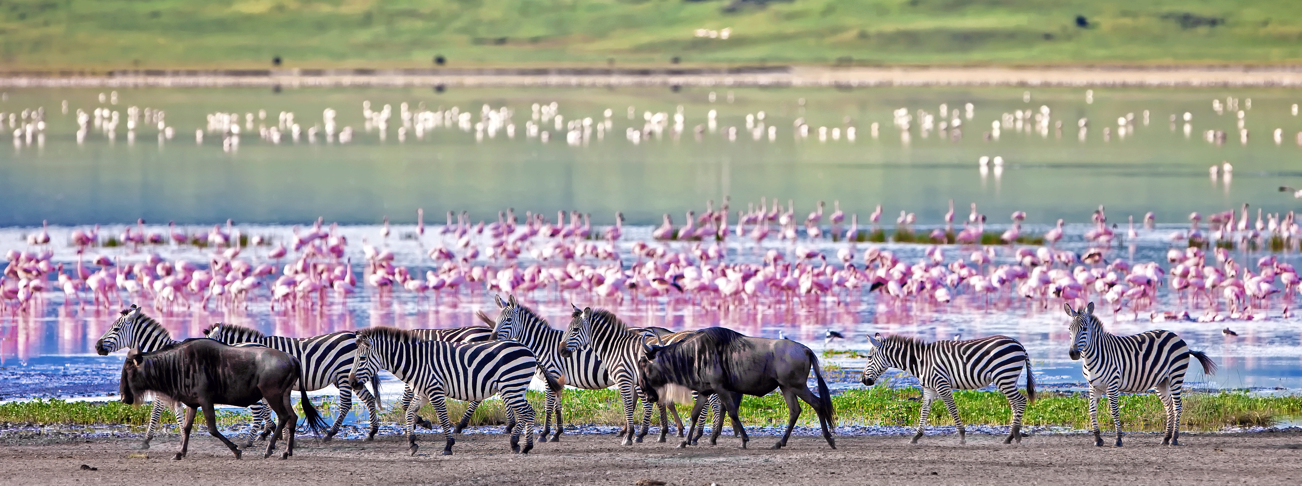/resource/Images/Tanzania_Kenya/headerimage/Zebras-and-wildebeests-walking-beside-the-lake-in-the-Ngorongoro-Crater,-Tanzania,-flamingos-in-the-background.png