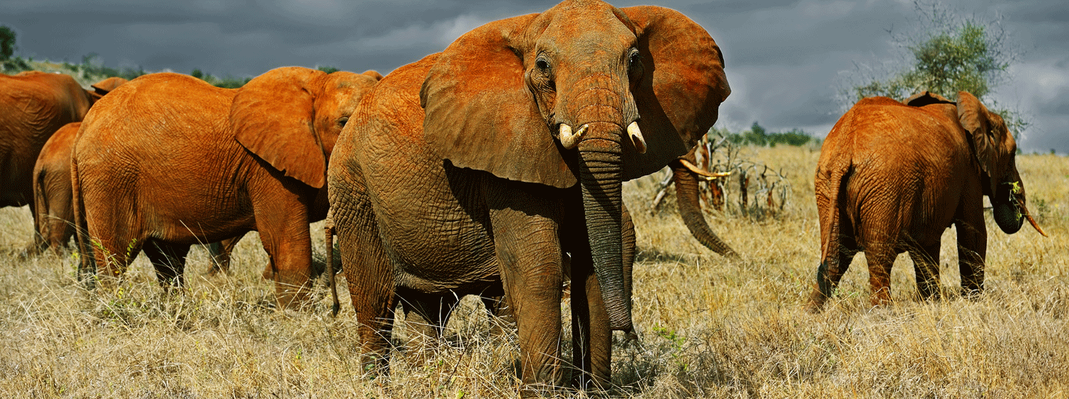 /resource/Images/africa/kenya/headerimage/Elephants-Tsavo-west-National-Park-in-Kenya.png