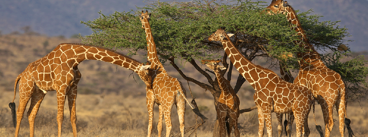 /resource/Images/africa/kenya/headerimage/Samburu-Kenya-safari-Giraffe.png