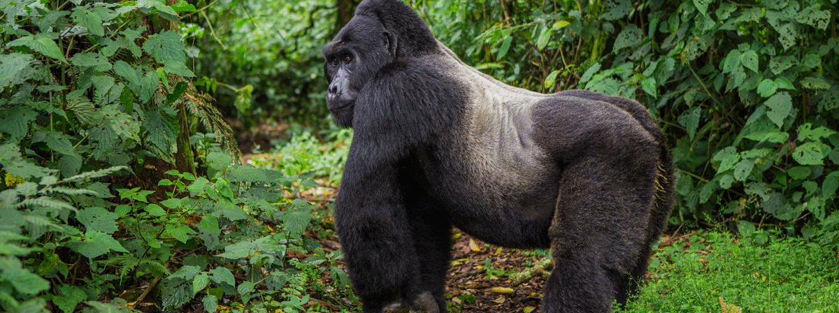 /resource/Images/africa/uganda/headerimage/Gorilla-trekking-in-uganda.png