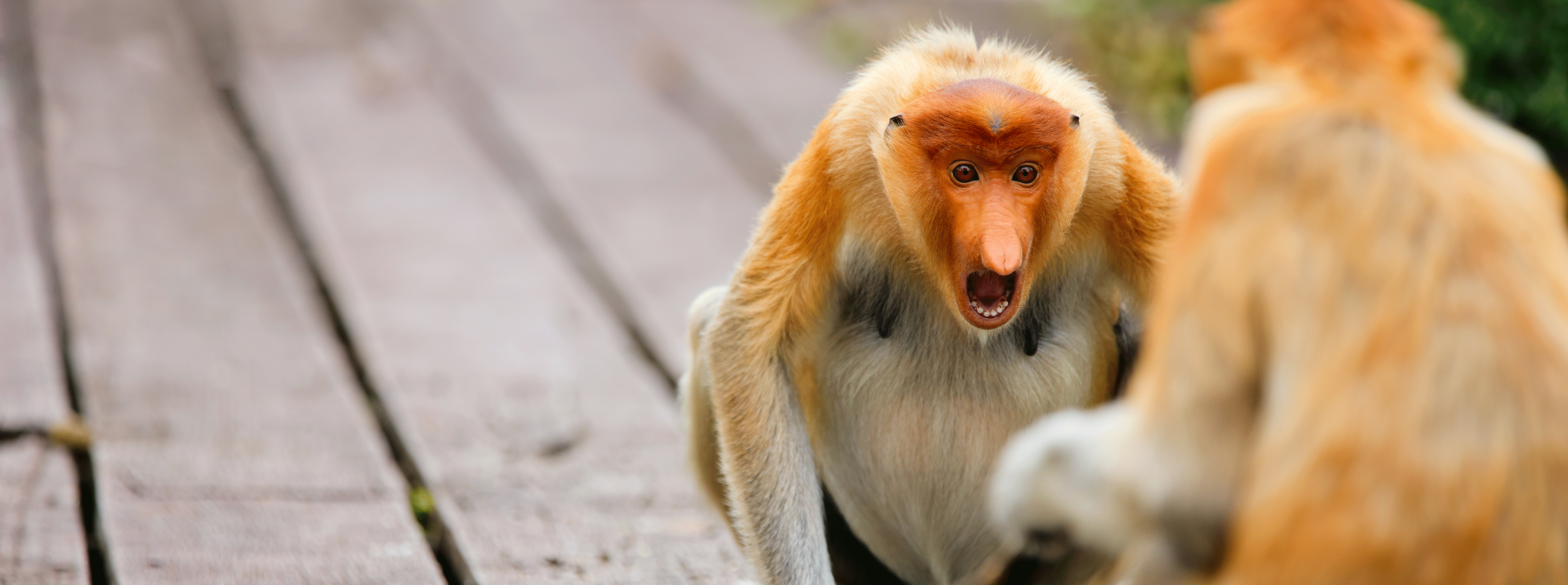 /resource/Images/borneo/headerimage/Proboscis-monkeys-on-Borneo.png