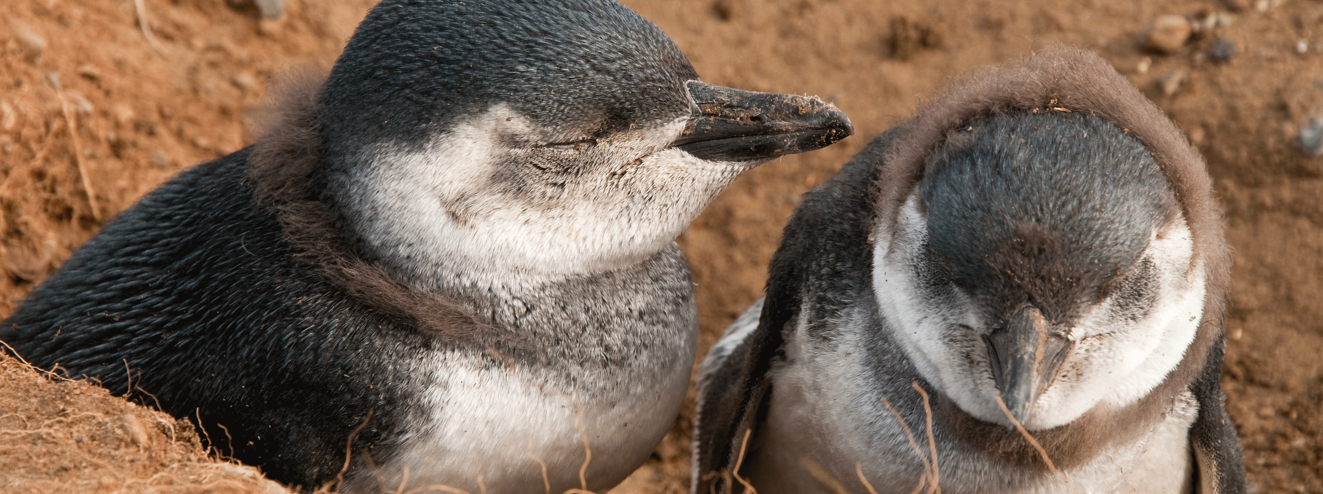 /resource/Images/southamerica/chile/headerimage/Baby-Penguins-at-Isla-Magdalena,-Patagonia-Chile.png